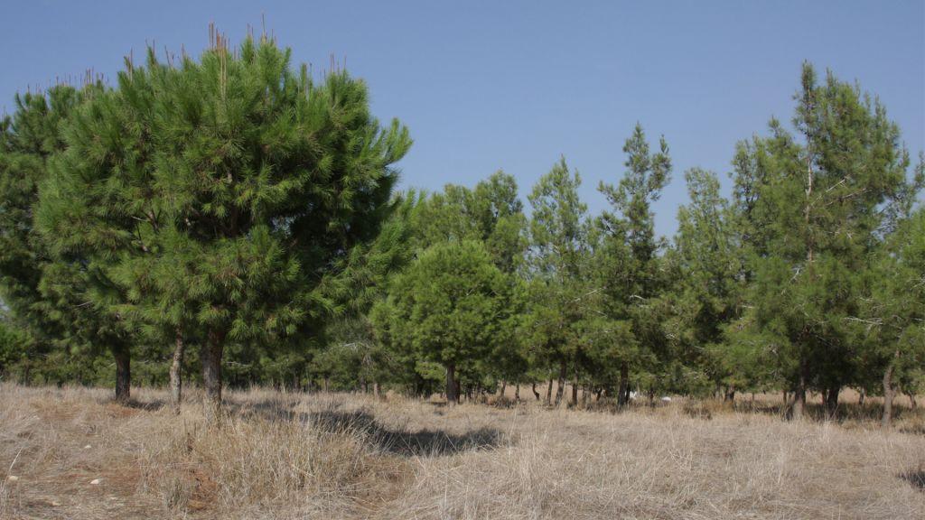 Les pins, comme ceux de la forêt de Kommemiyut, dans le sud d'Israël, sont très inflammables. (Crédit : Shmuel Bar-am)