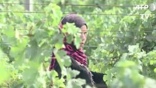 La récolte viticole en Egypte, en novembre 2016. (Crédit : capture d'écran AFP)