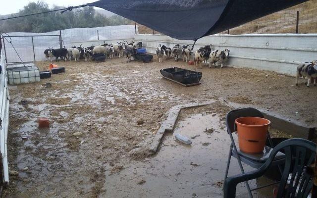 Des pluies torrentielles ont détruit l'abri temporaire de quarantaine des 100 moutons de Jacob venus du Canada, le 18 décembre 2016. (Crédit : Gil Lewinsky)
