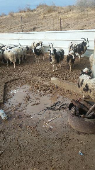 Des pluies torrentielles ont inondé le site de quarantaine des moutons de Jacob, près d'Ofakim, le 18 décembre 2016. (Crédit : Gil Lewinsky)