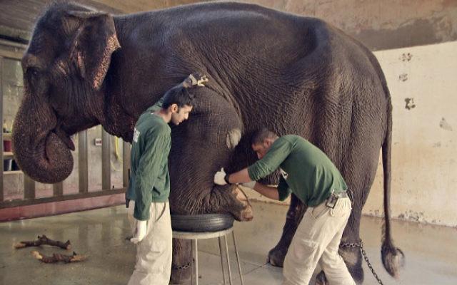 S'occuper des éléphants et d'autres actes de coexistence dans « Holy Zoo », le documentaire présenté au Festival du film juif de Jérusalem, du 24 au 29 décembre 2016 (Crédit : Autorisation Ammar Shachar)