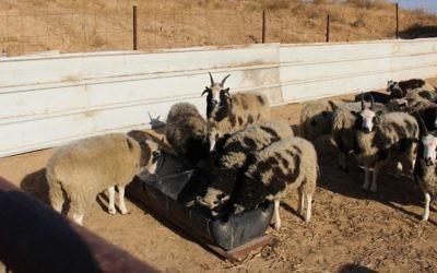 Les moutons de Jacob en quarantaine dans le sud d'Israël le 5 décembre 2016 (Crédit : Autorisation des Amis des moutons de Jacob)