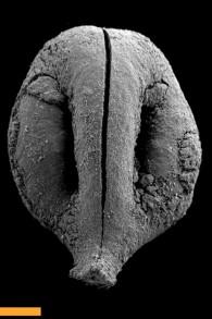 Des petits pépins de raisin, des Vitis sylvestris datant d'il y a 780 000 ans. (Crédit: Yoel Melamed)