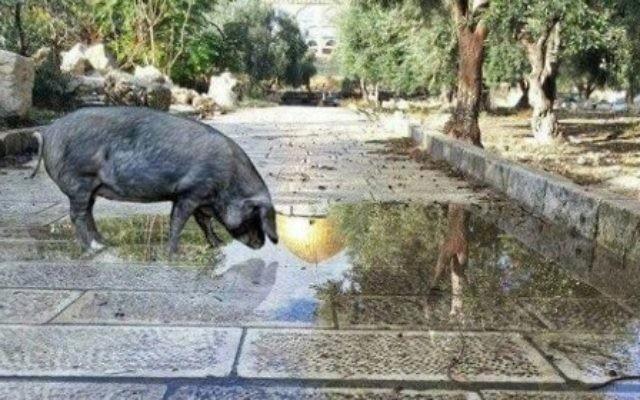 Image retouchée mettant en scène un porc sur le mont du Temple. La photo a été publiée sur la page Facebook d'un activiste juif le 21 décembre 2016. (Crédit : Facebook)