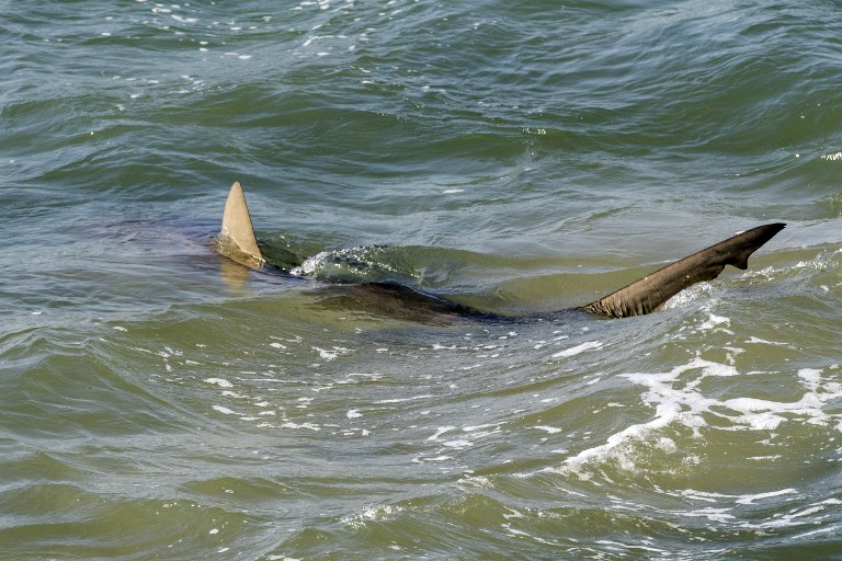 Un requin apprécie l'eau chaude de la mer Méditerranée, au large de Hadera, au nord de Tel Aviv, le 23 janvier 2017. (Crédit : Jack Guez/AFP)