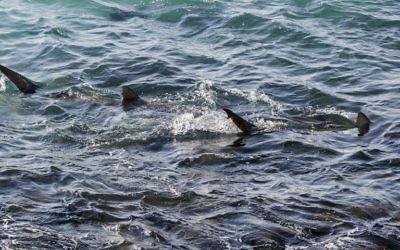 Des requins en mer Méditerranée, au large de Hadera, au nord de Tel Aviv, le 23 janvier 2017. (Crédit : Jack Guez/AFP)