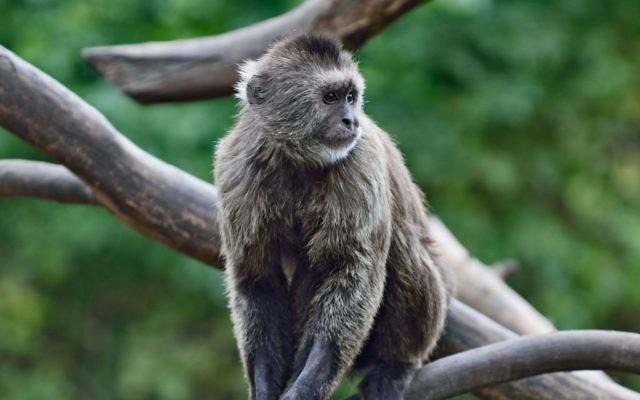 Conner, le singe musqué qui s'est enfui du zoo de Ramat Gan, le 16 janvier 2017. (Tibor Jager/Ramat Gan Safari)