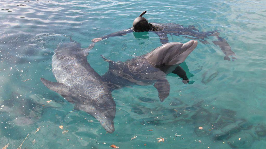 Un dresseur nage avec les dauphins au Récif des Dauphins d' Eilat. (Crédit : Shmuel Bar-Am)