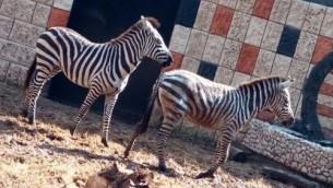 Deux des quatre zèbres transférés du zoo de Ramat Gan à celui de Qalqilya, le 31 janvier 2017. (Crédit : COGAT)