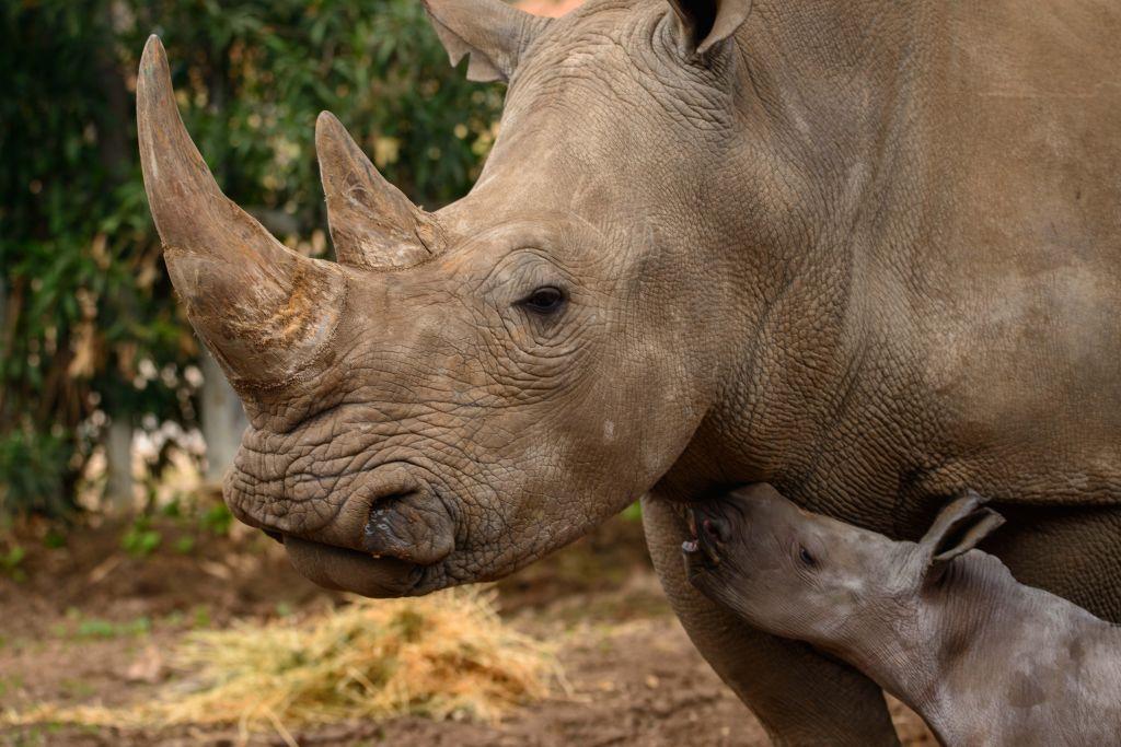 La femelle rhinocéros blanc Rihanna avec son nouveau-né Rami au Ramat Gan Safari, en février 2017 (Crédit : Elad Hershkowitz/Ramat Gan Safari)