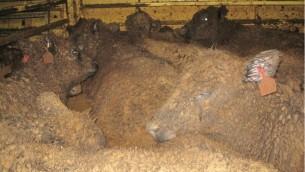 Transport de bétail vivant depuis l'Australie. (Crédit : Lynn Simpson)