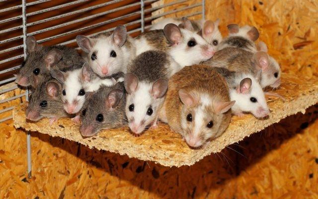 Des souris. Illustration. (Crédit : Pixabay)