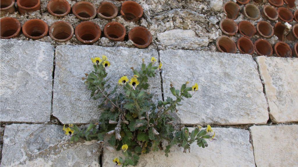 Des belladones jaunes et des mashroubiye, des tuyaux en grès installés dans les murs pour fournir une climatisation naturelle. (Crédit : Shmuel Bar-Am)