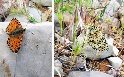 La fritillaire du genre Acentria (Melitaea acentria), une nouvelle espèce découverte en Israël sur les pentes du mont Hermon, en 2017. (Crédit : Dr Vladimir Lukhtanov/Pensoft Publishers/CC BY 4.0)