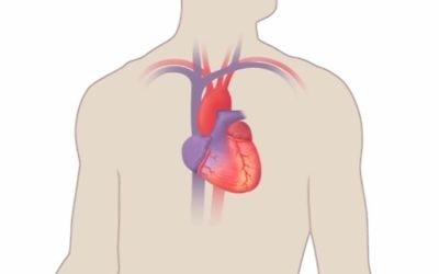 Schématisation d'un cœur humain. (Crédit : YouTube)