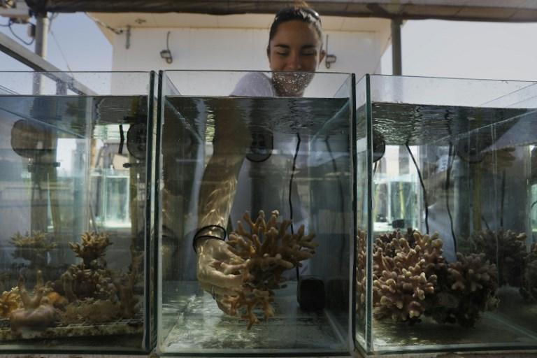 Jessica Bellsworthy, doctorante, de l'Institut interuniversitaire pour les sciences marines à Eilat, dans le sud d'Israël, étudie la croissance des coraux, le 12 juin 2017. (Crédit : Menahem Kahana/AFP)