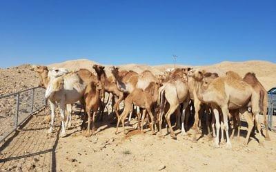 Des chameaux errants arrêtés dans le sud d'Israël, le 9 juillet 2017. (Crédit : ministère de l'Agriculture)