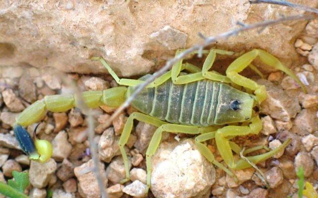 Un scorpion jaune dans le désert du Negev  (Crédit : Ester Inbar,  domaine public  via Wikimedia Commons)