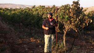 Le vigneron juif David Ventura de l'implantation d'Ofra de Cisjordanie vérifie le niveau de sucre dans les raisins de son vignoble, le 18 septembre 2011 (Crédit : Kobi Gideon / Flash90)