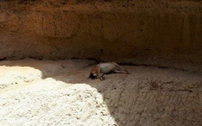 Un bouquetin mort retrouvé à Nahal Ashalim, le 15 juillet 2017. (Crédit : Autorité de la nature et des parcs)