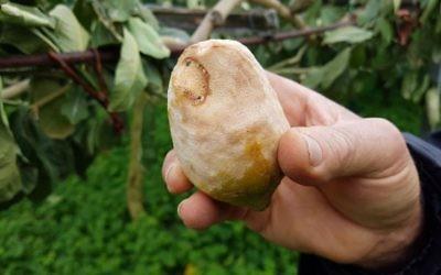 Quatre jours de températures au dessous de zéro au mois de janvier ont été suffisants pour détruire environ 80 pour cent des citronniers délicats (Crédit : Luigi Salsini)
