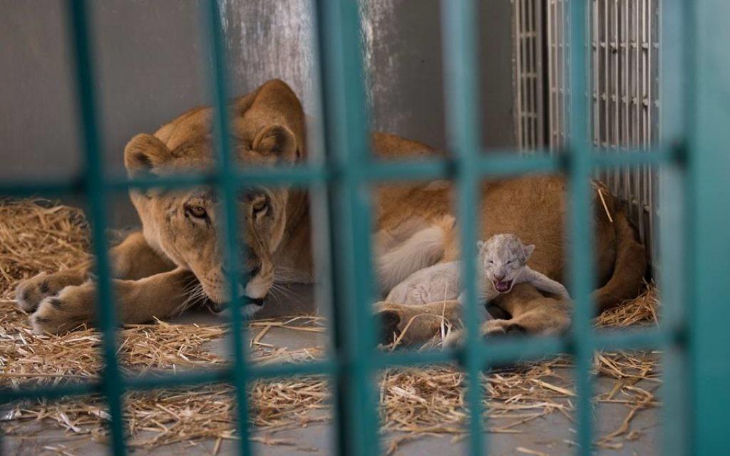 Une lionne sauvée du zoo d'Alep a donné naissance à un lionceau en Jordanie, le 12 août 2017. (Crédit : Facebook/Four Paws International)