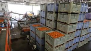 Des oranges dans une usine du sud d'Israël. Illustration. (Crédit : Yaakov Naumi/Flash90)