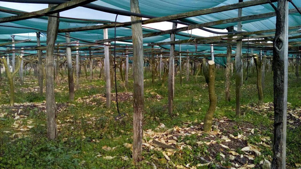 Des citronniers de Calabre qui ont été détruits par une gelée survenue en janvier 2017 (Crédit : Chabad.org)