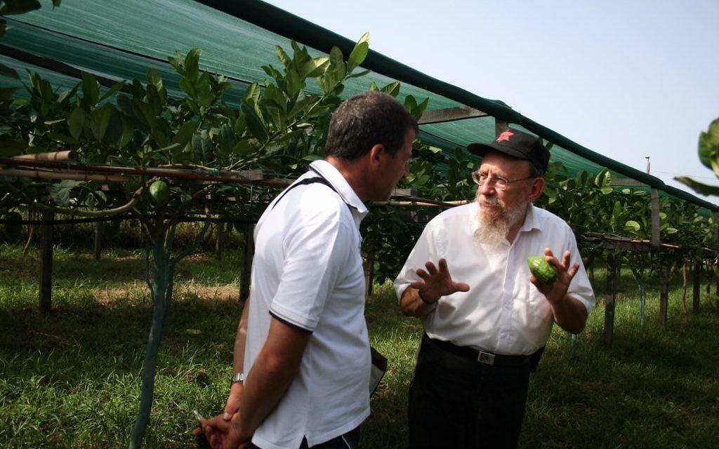Le rabbin Moshe Lazar supervise la récolte de citrons casher en Calabre, en Italie, depuis l'été de 1964 (Crédit : Esrogim.info/via Chabad.org)