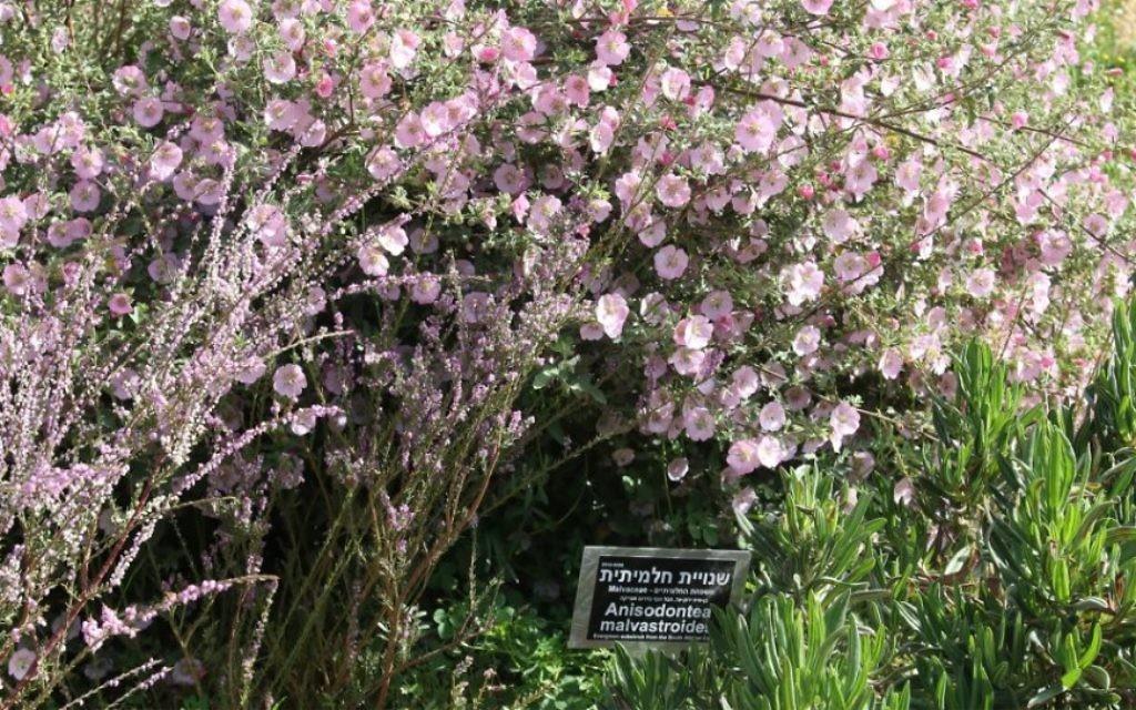 """Le géranium """"crystal rose"""" et le Nylandtia spinosa font partie de l'exposition sur l'Afrique. (Crédit : Shmuel Bar-Am)"""