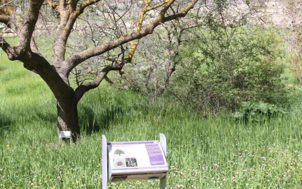 Le Chemin Biblique propose aux visiteurs de se familiariser avec la flore biblique, notamment le blé, ou les acacias. (Crédit : Shmuel Bar-Am)