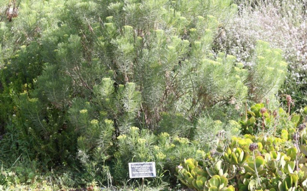 L'hymenolepis parviflora impressionne par son odeur et ses couleurs éclatantes. (Crédit : Shmuel Bar-Am)