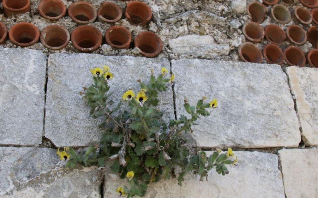 La jusquiame jaune est une fleur sauvage israélienne. (Crédit :Shmuel Bar-Am)