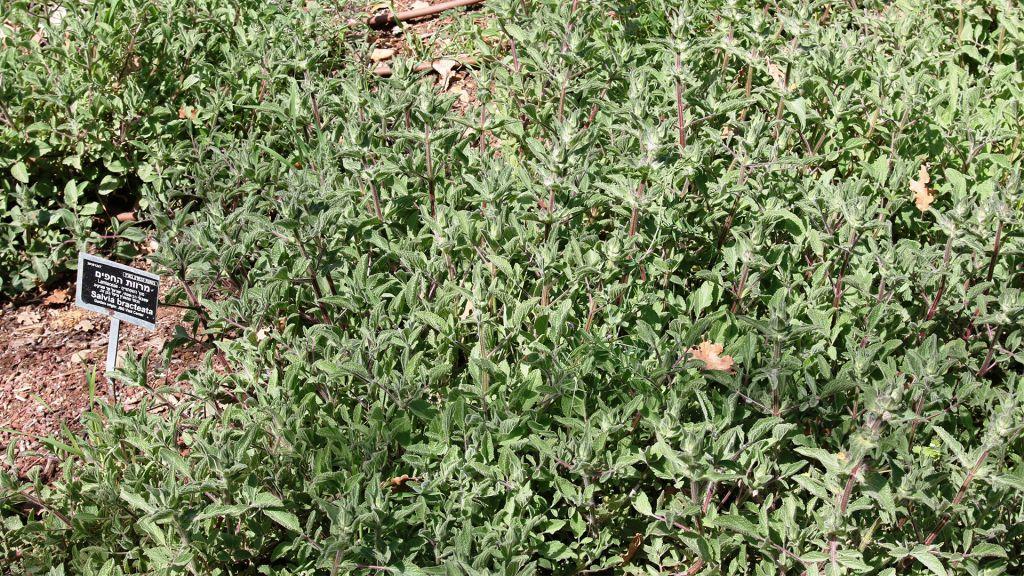 La Salvia bractaea a été sauvée de l'extinction et réintroduite dans la nature par les Jardins Botaniques de Jérusalem. (Crédit : Shmuel Bar-Am)