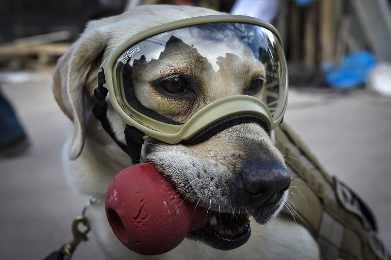 Frida, chienne de secours de la Marine mexicaine, près des décombres de l'école Rebsamen de Mexico, le 22 septembre 2017. (Crédit : Omar Torres/AFP)