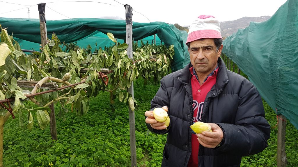 Un agriculteur montre des citrons endommagés dans le nord de la Calabre, en Italie, où les citrons jaunes sont récoltés depuis des milliers d'années (Crédit : Luigi Salsini)