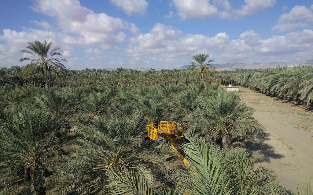 Une vue d'ensemble des palmiers dattiers Dery au kibboutz Tirat Zvi depuis le haut de la nacelle élévatrice le 27 septembre 2017 (Crédit : Melanie Lidman/Times of Israel)