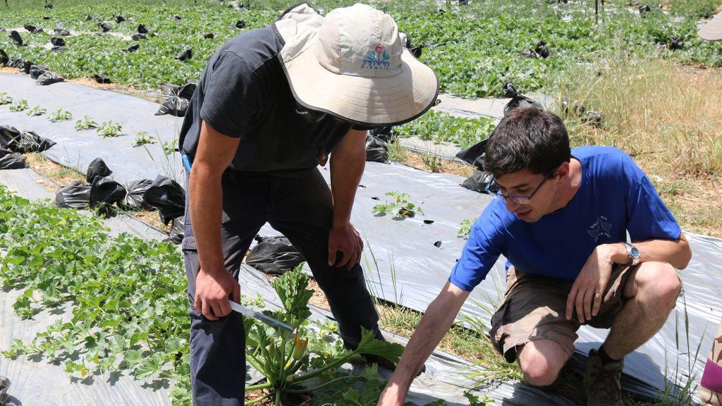 Nadav Bensusan, l'un des fondateurs de Kaima, avec un des jeunes de l'association, dans les champs de courgettes de la ferme Kaima proche de Jérusalem. (Crédit : Shmuel Bar-Am)
