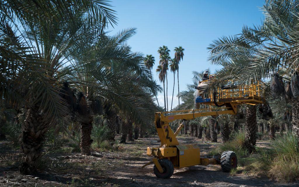 La récolte des loulav sur certains des 13 000 palmiers du kibboutz Tirat Zvi, le 27 septembre 2017 (Crédit :Luke Tress/Times of Israel)