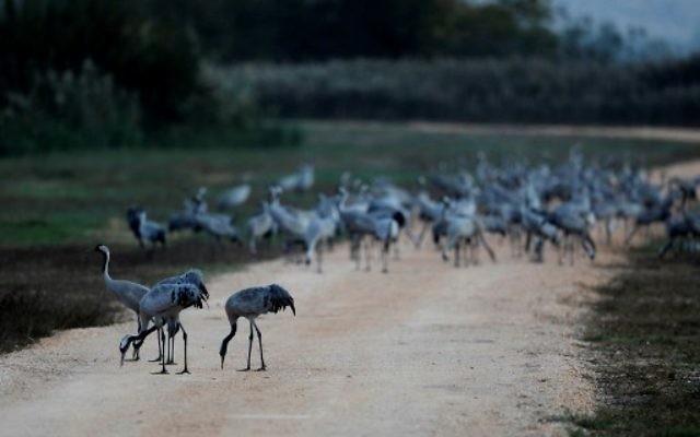 Une photo prise le 16 novembre 2017 montre des pélicans au lac Agamon dans la vallée de Hula dans le nord d'Israël. Plus d'un demi-milliard d'oiseaux de quelque 400 espèces différentes traversent la vallée du Jourdain pour l'Afrique et retournent en Europe au cours de l'année. Quelque 40 000 grues grises sont restées pendant l'hiver dans le lac Agamon au lieu de migrer vers l'Afrique, profitant de la sécurité de cette source d'eau artificielle. Les agriculteurs locaux nourrissent les oiseaux avec du maïs dans le but de les empêcher de détruire leurs champs agricoles. (Crédit : AFP / MENAHEM KAHANA)
