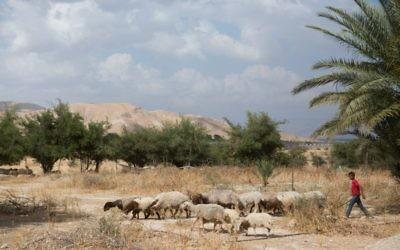 Photo d'illustration d'un jeune Palestinien gardant des moutons dans la vallée du Jourdain, le 14 mai 2015 (Crédit : Miriam Alster/FLASH90)