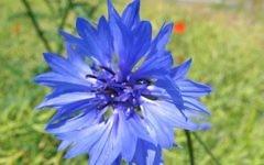 Un bleuet, un symbole longtemps associé au nazisme en Autriche. (Crédit : CC BY-SA 3.0, Kristian Peters, Wikipedia)