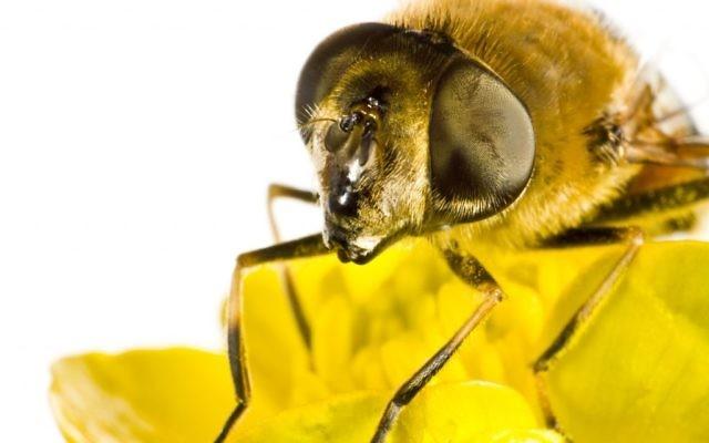 Les yeux à facette d'une abeille moderne (Crédit : Gewoldi/iStock, by Getty Images)