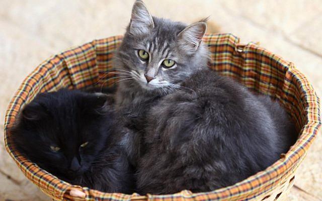 Une photo d'illustration de chats (Nati Shohat / Flash90)