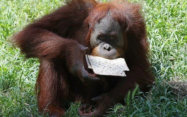 Une photo prise le 27 mars 2018 au parc zoologique de Ramat Gan, près de Tel Aviv, montre un orang-outan mangeant de la matsa (pain sans levain) traditionnelle avant la fête juive de Pessah (Crédit : AFP PHOTO / JACK GUEZ)
