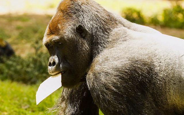 Une photo prise le 27 mars 2018 au parc zoologique de Ramat Gan, près de Tel Aviv, montre un gorille mangeant de la matsa (pain sans levain) traditionnelle avant la fête juive de Pessah (Crédit : AFP PHOTO / JACK GUEZ)