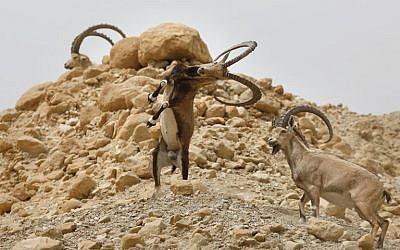 Des bouquetins combattent entre eux durant le cycle œstral de l'espèce dans la réserve naturelle d'Ein Gedi, le long de la mer Morte, dans le désert de Judée, le 24 mars 2018 (AFP PHOTO / MENAHEM KAHANA)