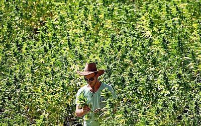 Un employé s'occupe de plants de cannabis dans une exploitation agricole de la société Tikkoun Olam près de la ville de Safed, dans le nord d'Israël, le 31 août 2010. (Abir Sultan/Flash 90)