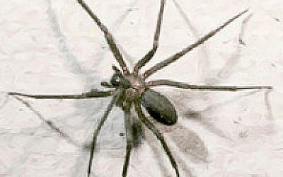 "Une araignée ""veuve brune"" ou « recluse brune » [Loxosceles reclusa] (Photo: Domaine public)"