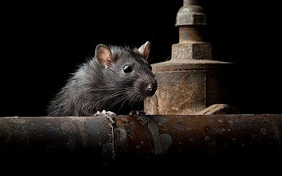 "Illustration : Un rat (""anatolypareev/iStock"")"